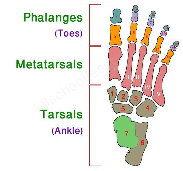 Human Skeletal System School Pinterest Skeletal System Human
