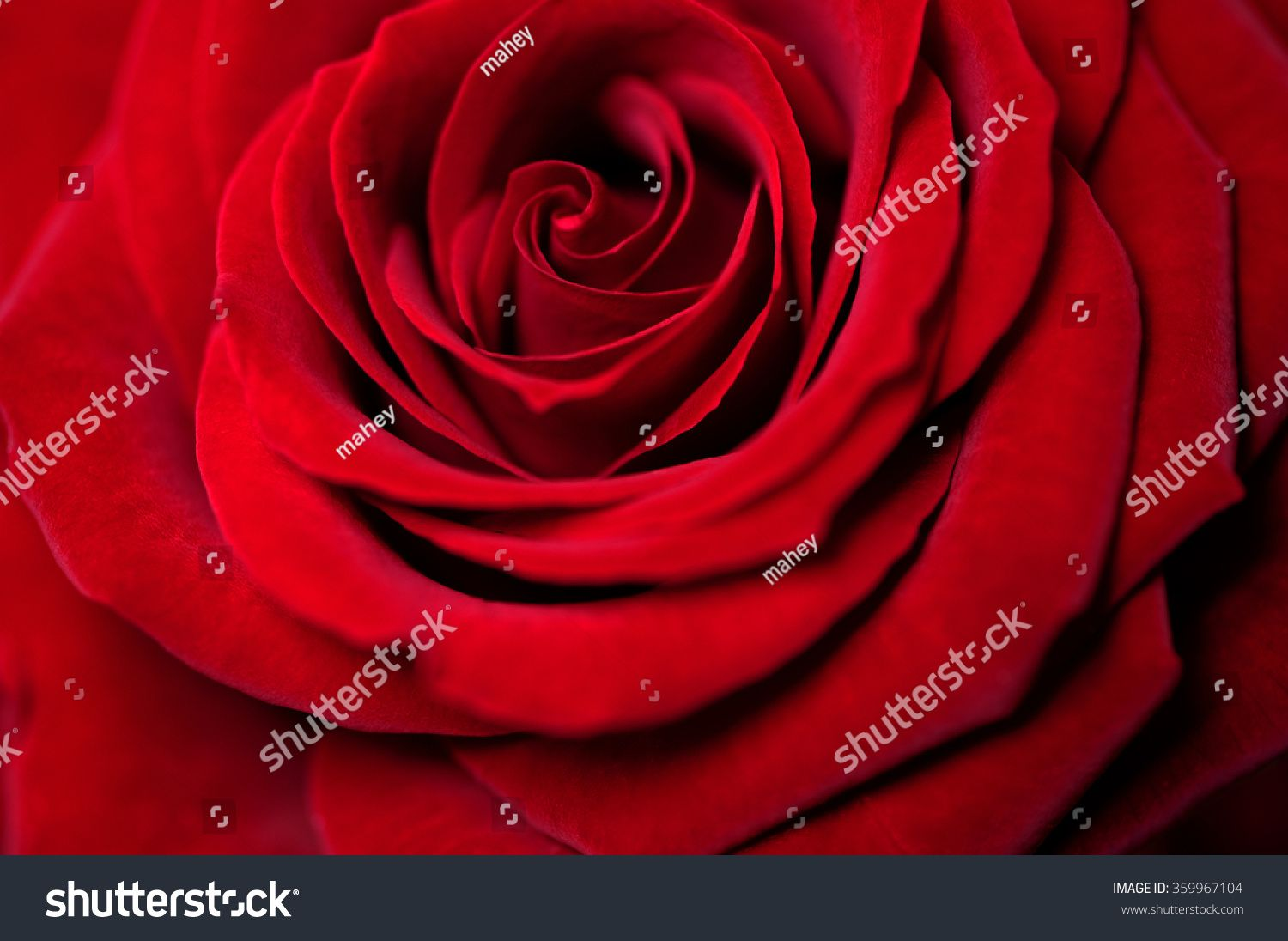 rose the symbol of love Early tradition used white roses as a symbol for true love, an association which would later become the hallmark of the red rose also known as the bridal rose, the white rose is a traditional.
