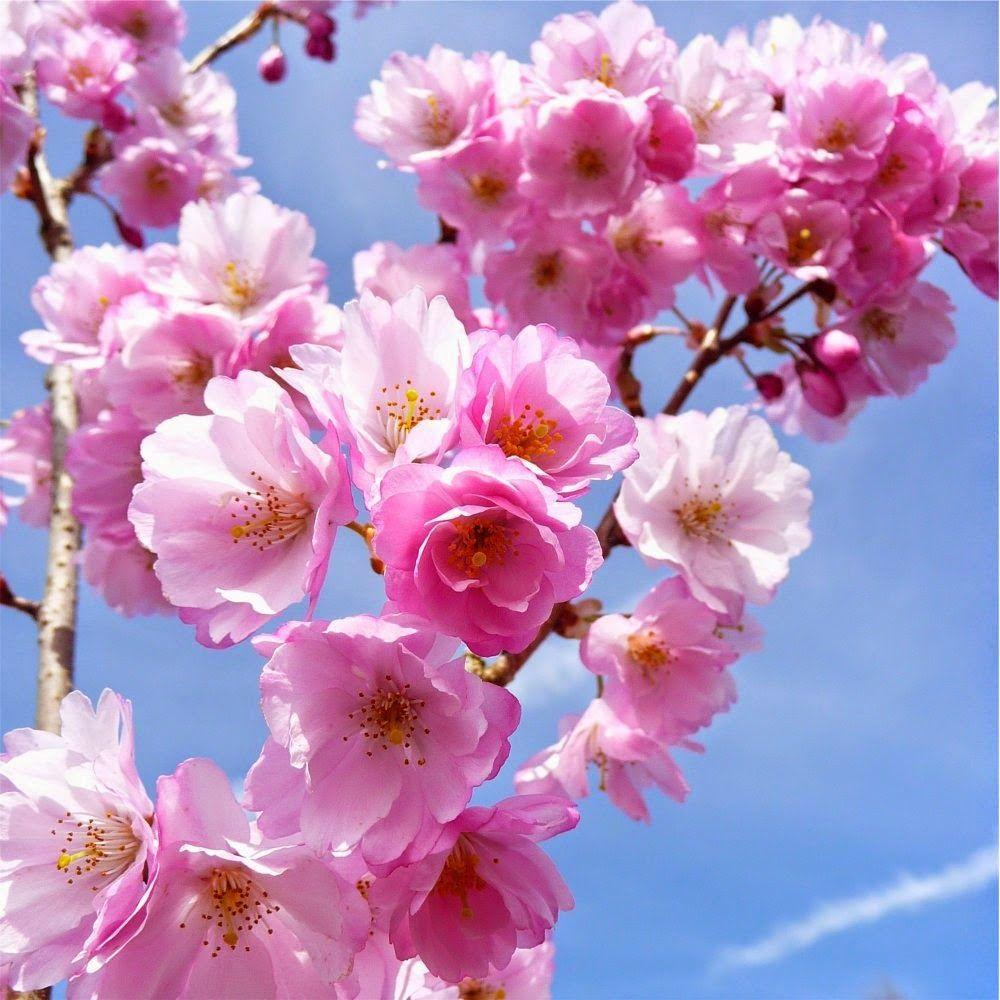 Wallpaper Gambar Bunga Sakura Kartun
