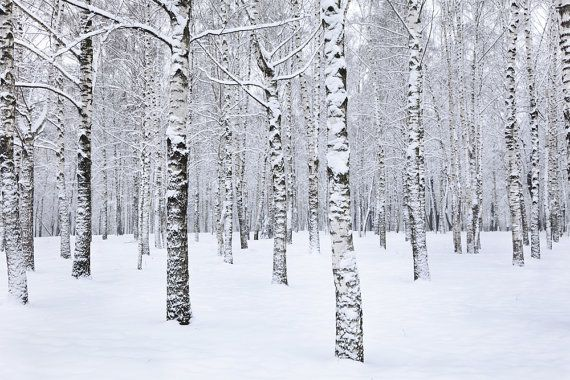 Birch tree forest in winter mural, repositionable peel & stick wall paper, Picture wall paper