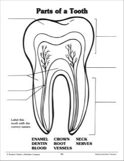 Parts Of A Tooth Labeling Practice Page Teeth Diagram Teeth Tooth Preschool