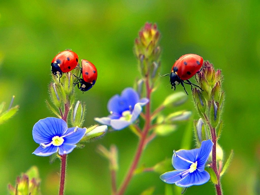 image detail for -free ladybugs on flowers wallpaper - download