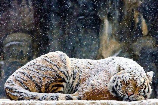 Tiger sleeping in snow (40 pieces)
