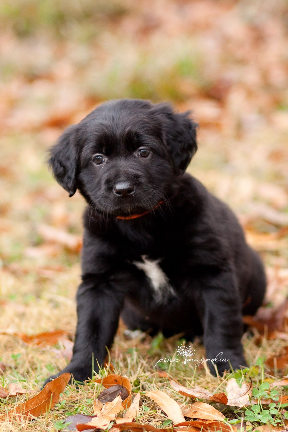 Haley Is A Black Lab Mix Puppy Who Is Now Available For Adoption Through The Fayette Humane Society In Fayette County Georgia Fill Out An Application Online