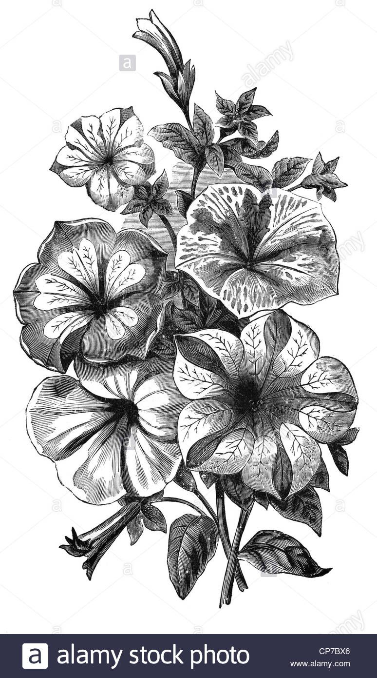 Download This Stock Image Antique Wood Engraving Of Petunia Flower From German Textbook Dated Mid 1800 S Publi Petunia Tattoo Petunias Flower Tattoo Shoulder