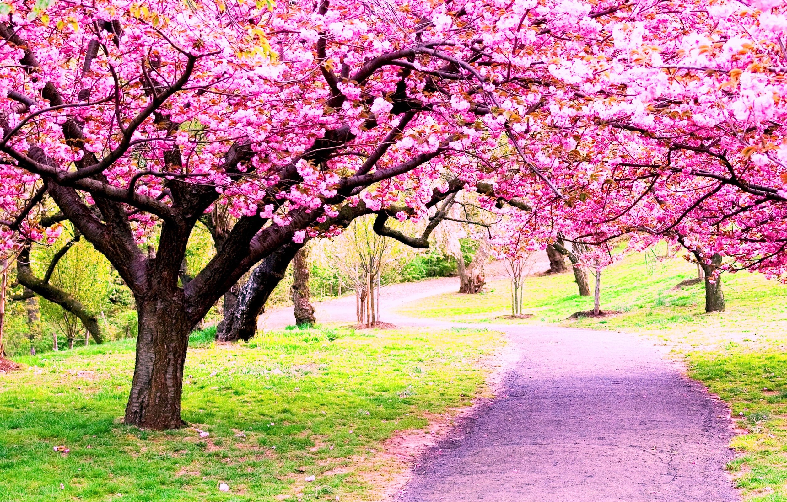 Cherry Blossom Soap Blossom Trees Flowering Trees Spring Pictures