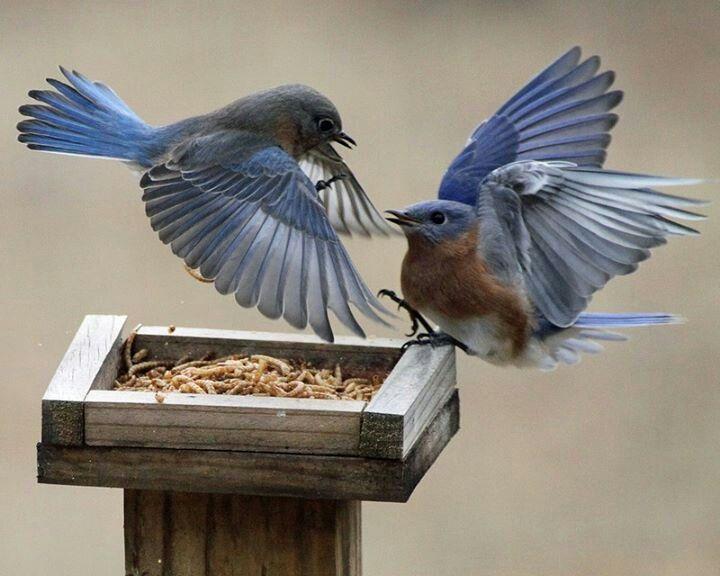 Beautiful bluebirds blue bird backyard birds pet birds