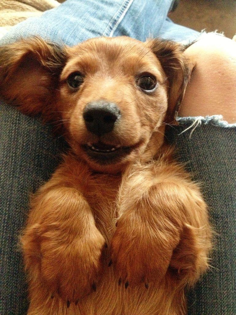 Doxie Puppy From Reddit So Cute Cute Animals Cute Animals