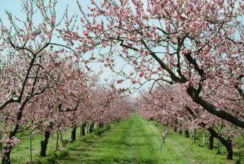 How To Plant Take Care Of An Elberta Peach Tree Fruit Trees Backyard Peach Blossom Tree Peach Trees