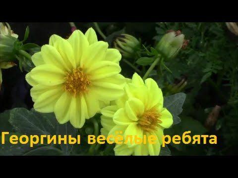 """Георгины однолетние """"весёлые ребята"""". Посадка и уход. - YouTube"""