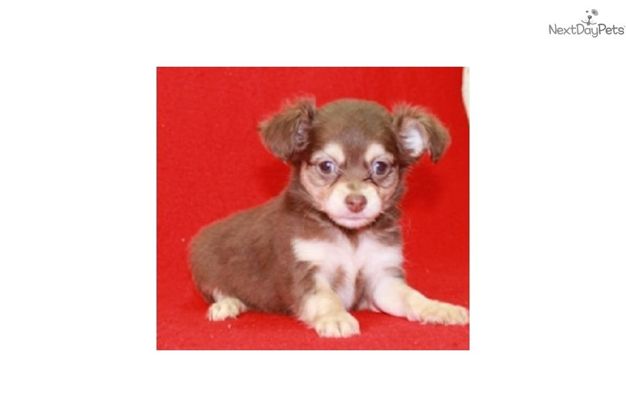 I Am A Cute Chihuahua Puppy Looking For A Home On Nextdaypets Com