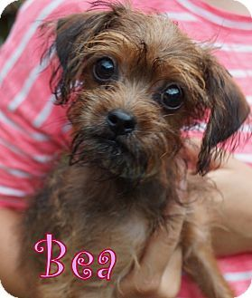 New Jersey Nj Yorkie Yorkshire Terrier Mix Meet Brick Nj Bea A Puppy For Adoption Http Yorkie Yorkshire Terrier Yorkshire Terrier Cute Puppy Breeds