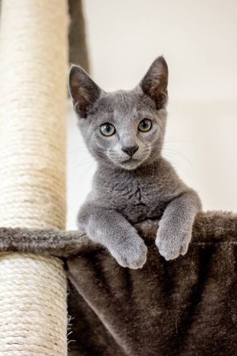 Another Delightful Rb Kitten Pretty Cats Blue Cats Russian Blue Cat