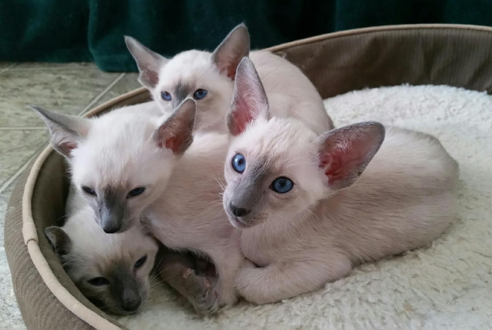 Asher And His Litter Mates Check Out Joroby Siamese Cats Siamese Cats Cats Kitty
