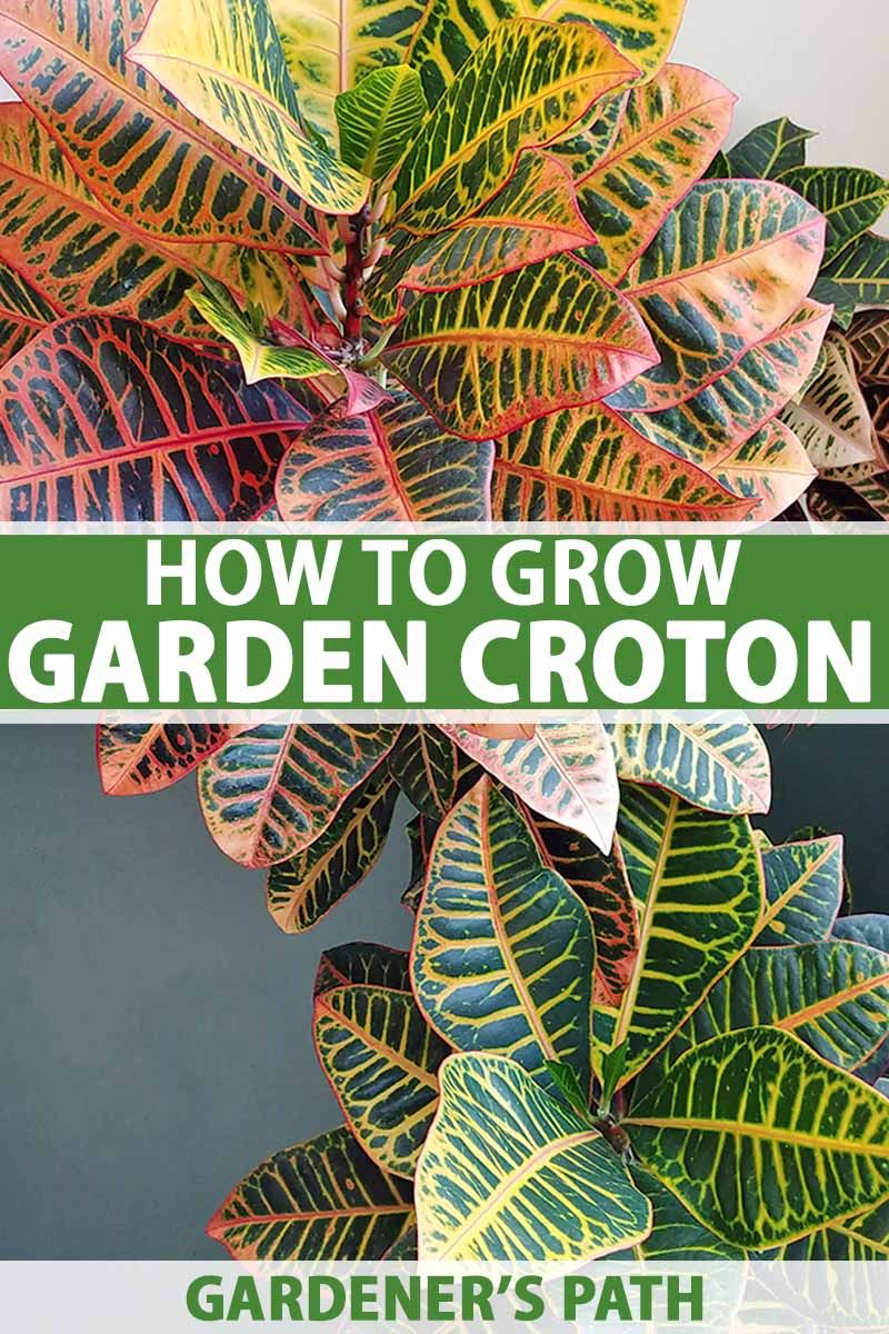 How To Cultivate Croton Plants Indoors Tropical House 640 x 480