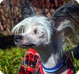 Bridgeton Mo Blind Chinese Crested Meet Finn A Dog For Adoption I Am A Tiny 5 Year Old Hairless Chinese Crested Dog Adoption Shelter Dogs