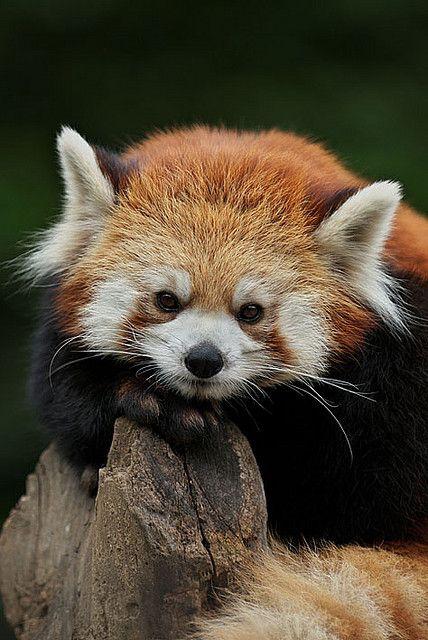 red panda Ajisai