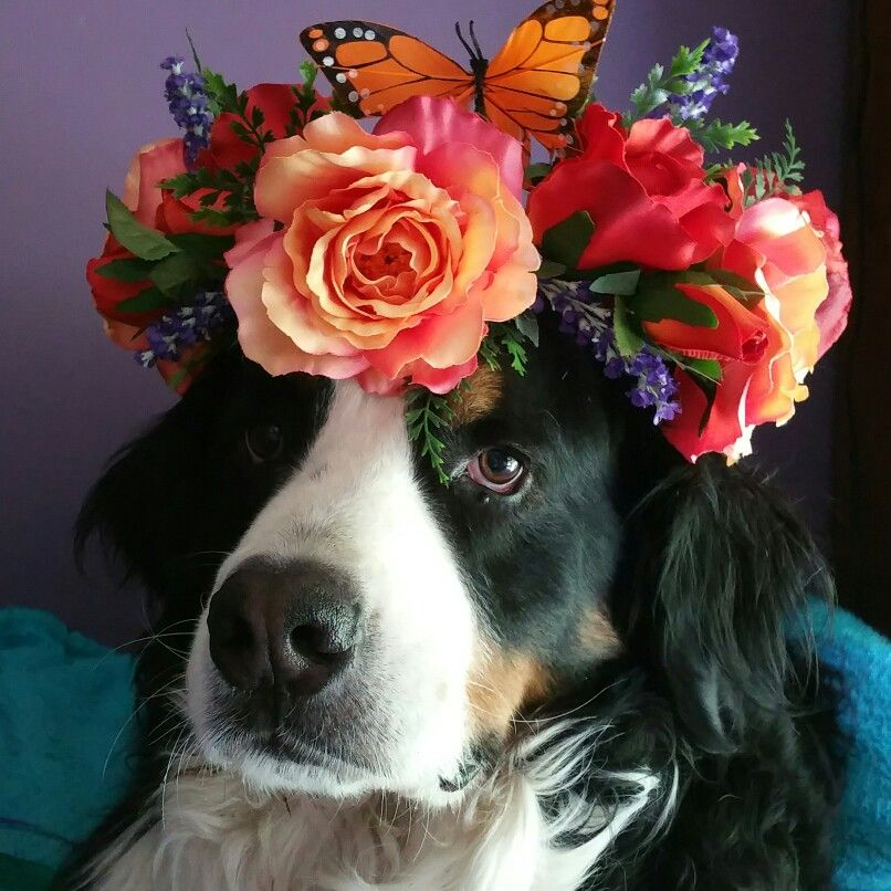 Peaches And Cream Faerie Flower Crown By Fiorenchantment Model Huckleberry The Bernese Mountain Dog Dog Flower Animals Beautiful Beautiful Dogs