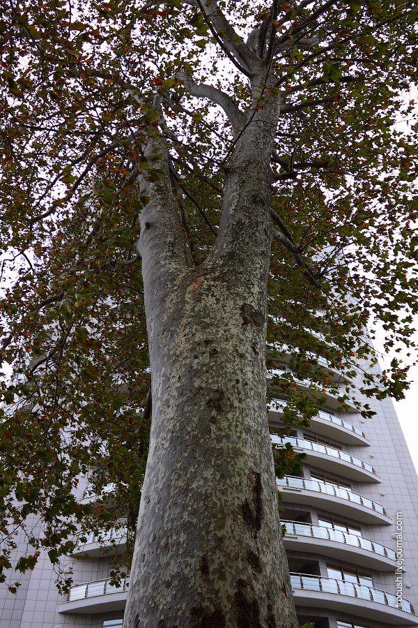 Еще одно южное растение. Платан (или чинар). Листья Платана похожи на кленовые, но ствол какой-то облезлый
