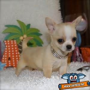Best Quality Chihuahua Puppies For Sale In Singapore March 2020