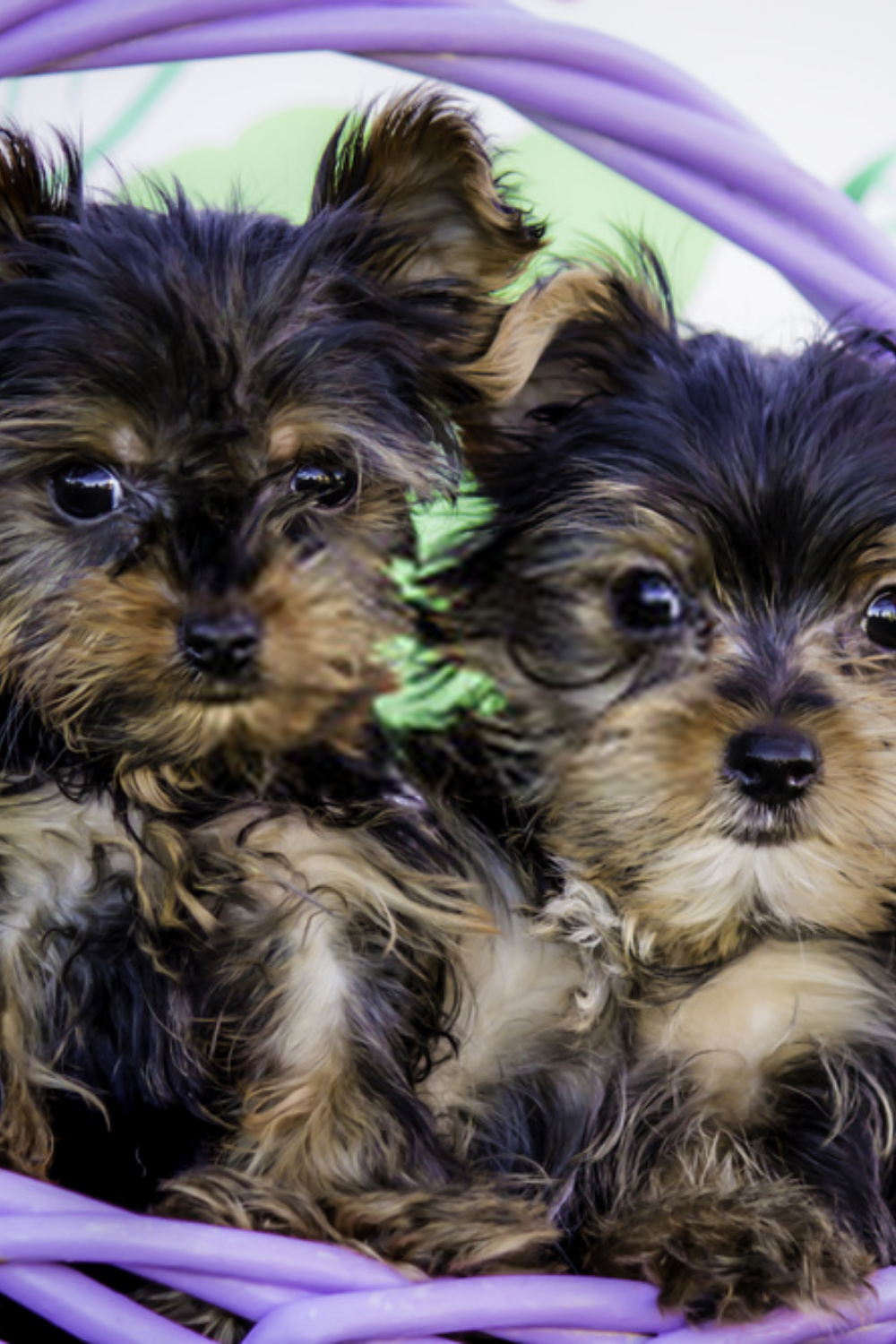 Terrier Puppies Yorkshire Terriers Puppies Photographies In 2020