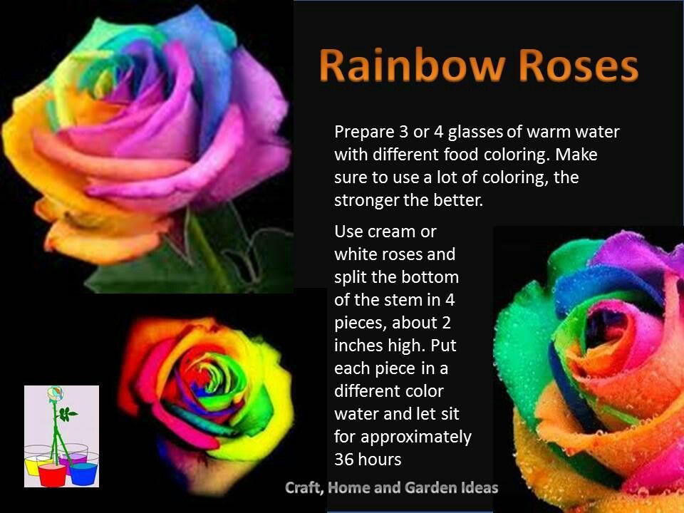 Happy Rose With Images Rainbow Roses Rainbow Flowers Flowers