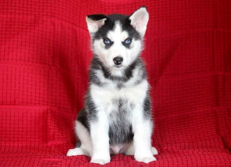 Duke keystone puppies puppies for sale health
