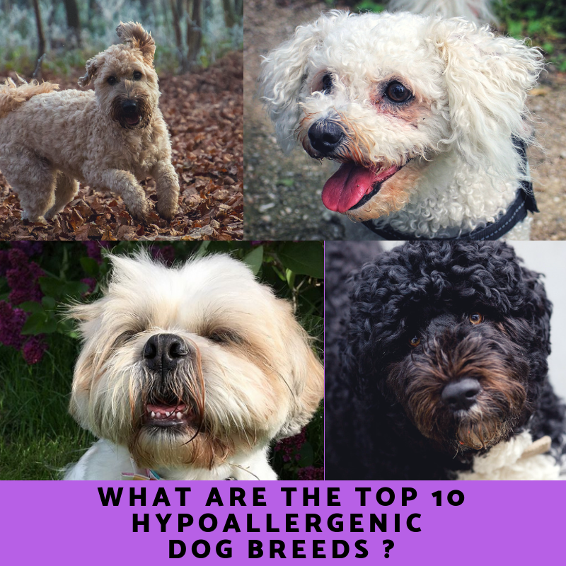 Top 10 Hypoallergenic Dog Breeds Hypoallergenic Dog Breed Dog Breeds Water Dog Breeds