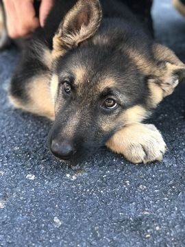 Litter Of 9 German Shepherd Dog Puppies For Sale In Wellford Sc
