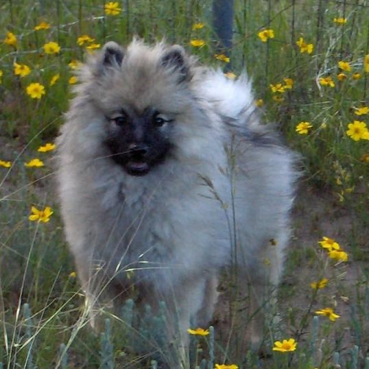 Colorado Keeshond Show Breeder Kennel Akc Keeshond Breeder Of