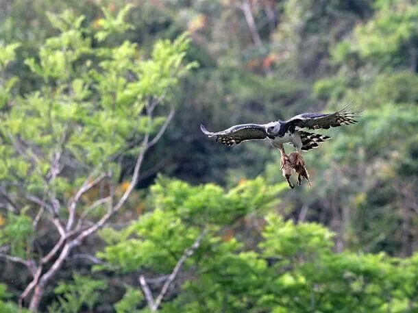harpy eagle and sloth relationship with god