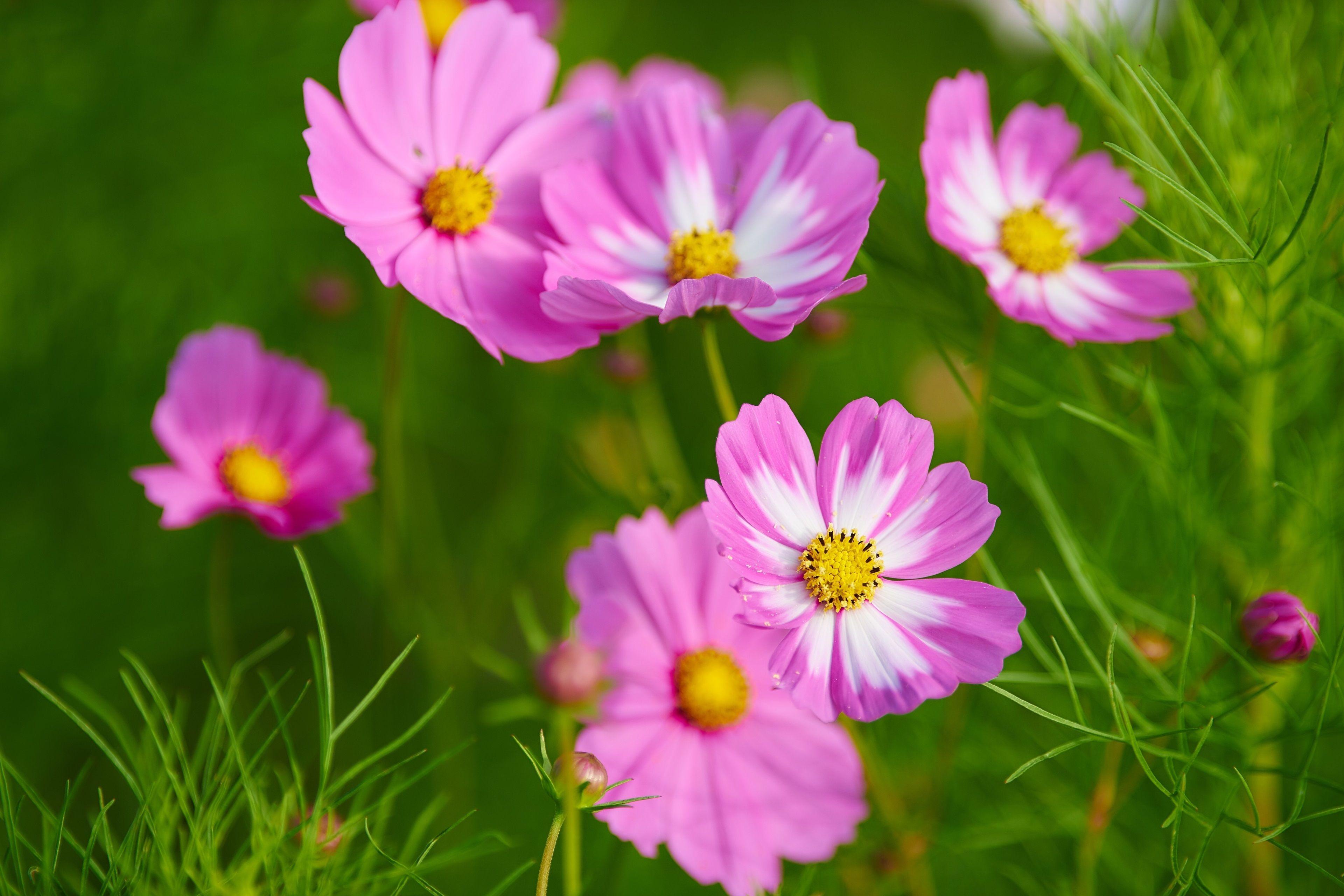 3840x2560 Cosmos Flowers 4k Wallpaper Download Free Cosmos Flowers Hd Flowers Flowers