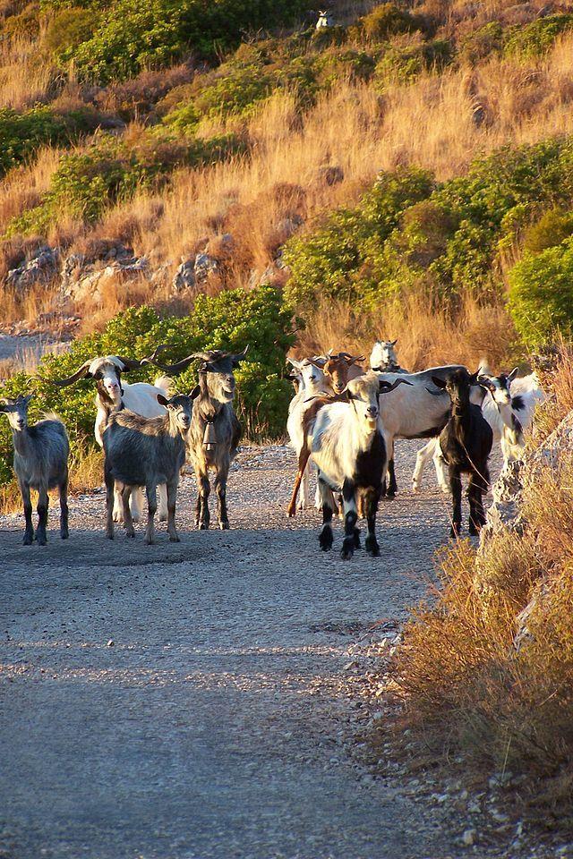 Vuno Albania Goats Ziegenherde In Der Ortschaft Vuno An Der