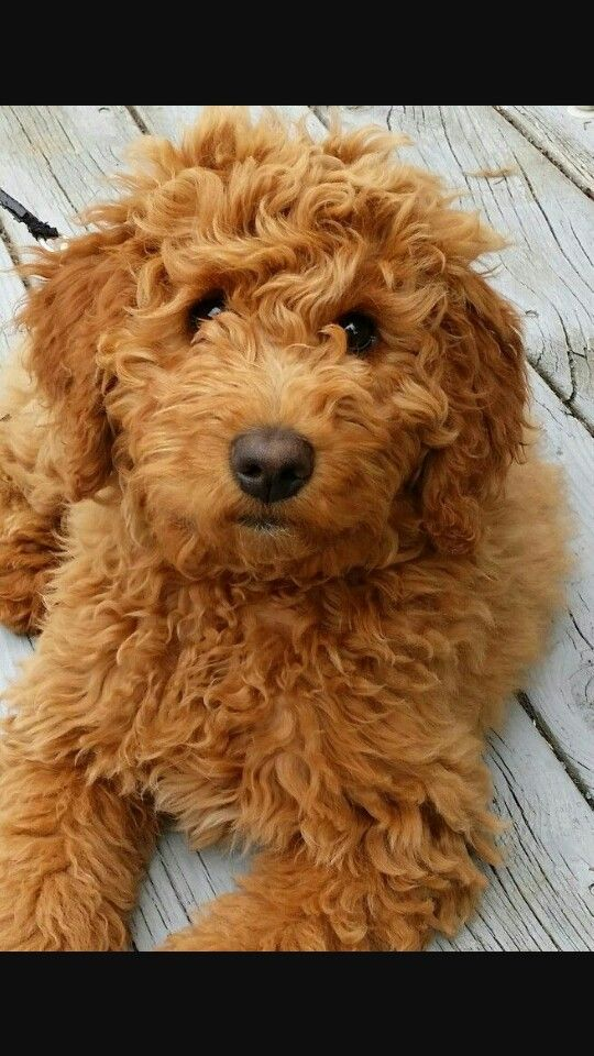 Golden Doodle Golden Retriever Mix Poodle Doodle Dog Breeds