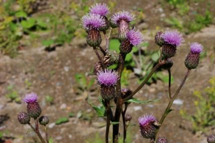 Cirsium arvense / pelto-ohdake