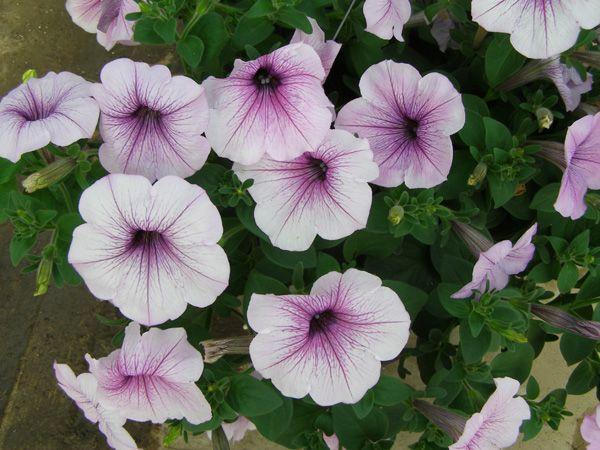 Your Garden Thriving In The Sandhills Wave Petunias Petunias Petunia Flower