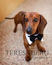 Adopt Cameron On Dachshund Rescue Dachshund Cute Dogs