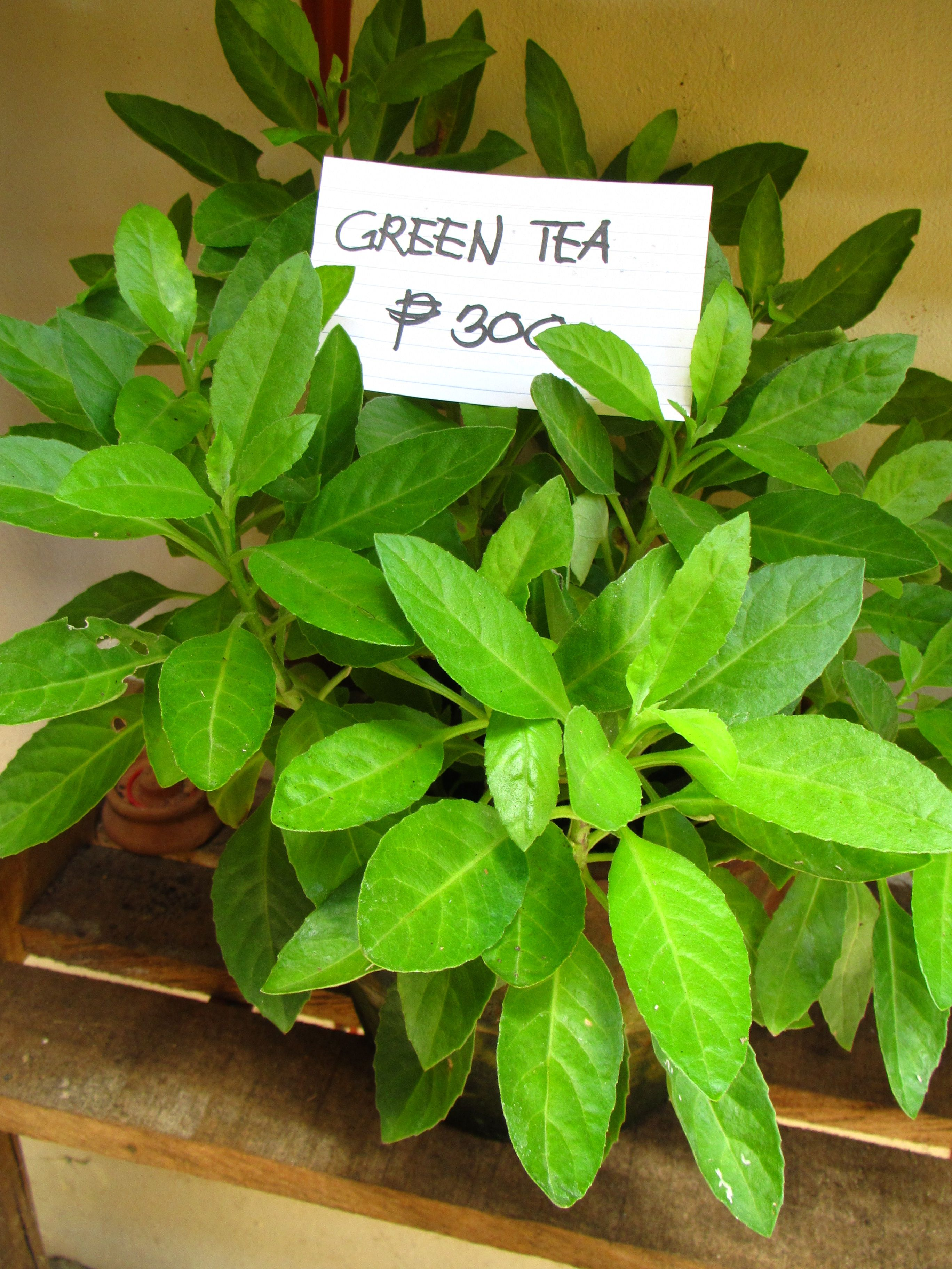 Potted Green Tea Plant for sale Healing Presents new