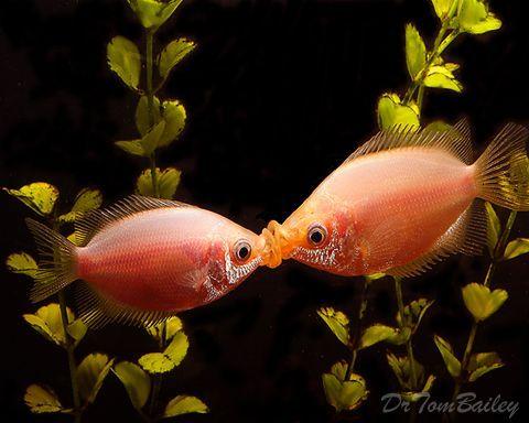 Google Kissing Gourami Tropical Fish Tanks Fresh Water Fish Tank