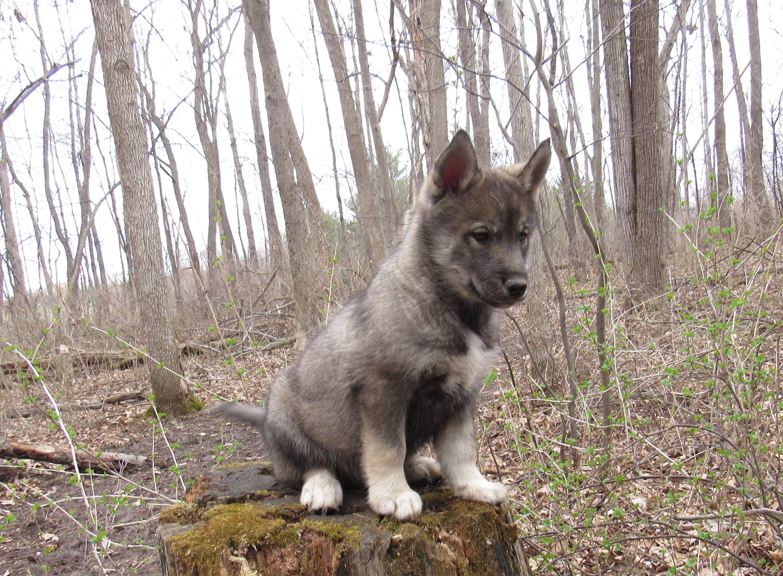 Pin by warcloud on agouti siberian huskies malamute