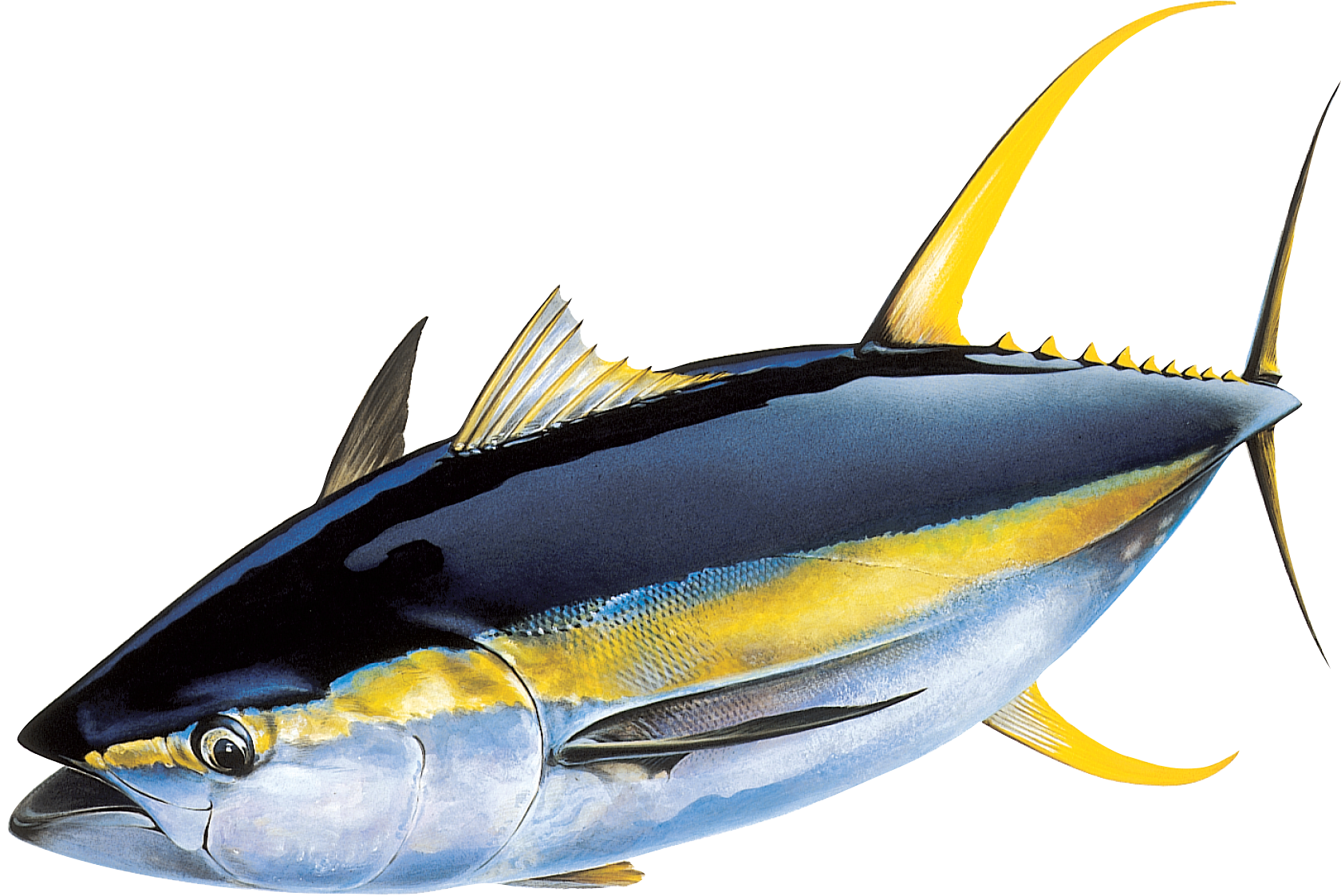 17 Best images about Yellow fin tuna on Pinterest | Fish paintings ...