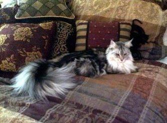 High Silver Alumni Gallery - High Silver Maine Coons Gorgeous kitties