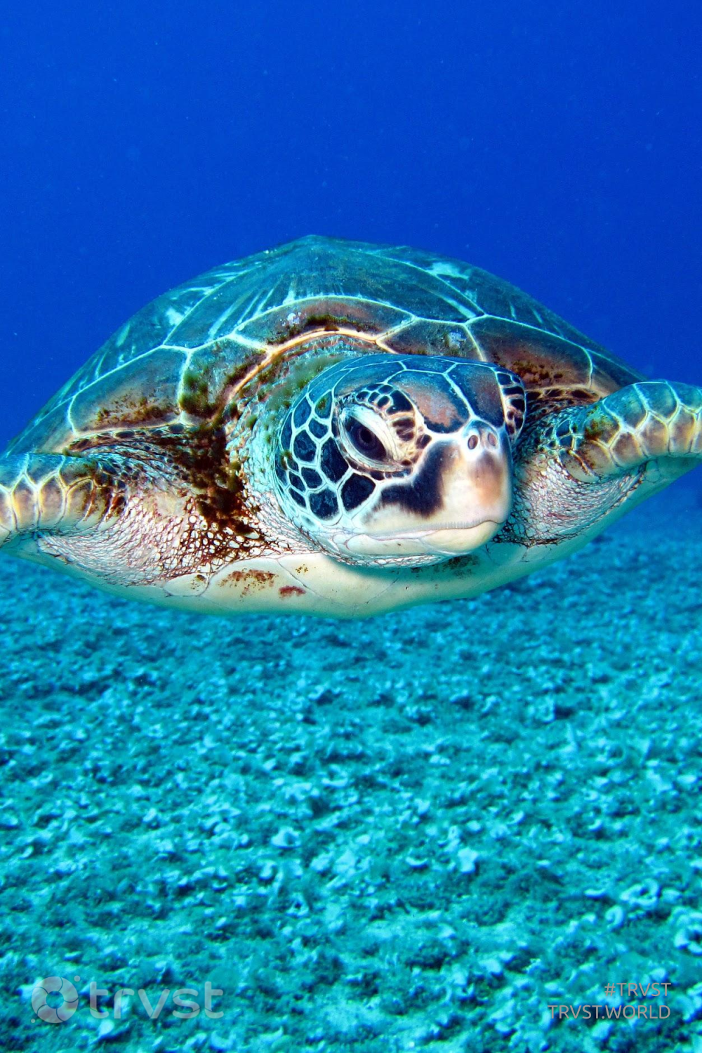 #trvst #marinelife #dosomething #savetheturtle #dotherightthing #intheocean #gogreen #amazingworld #bethechange #savetheoceans #takeaction 📷 @richard-segal-732340 on pexels