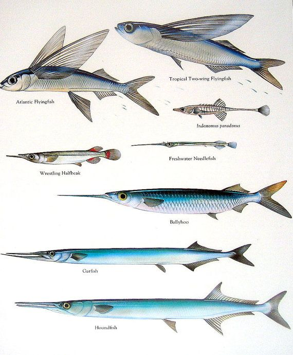 Atlantic Flying Fish | 1984 Vintage Fish Print Atlantic Flying Fish Ballyhoo Garfish Etc