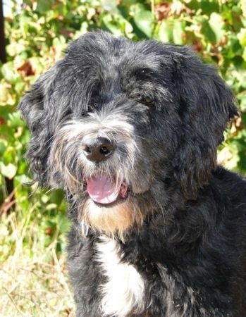 REX Terrier du Tibet, né le 16-1-09. Il est sociable avec ses ...