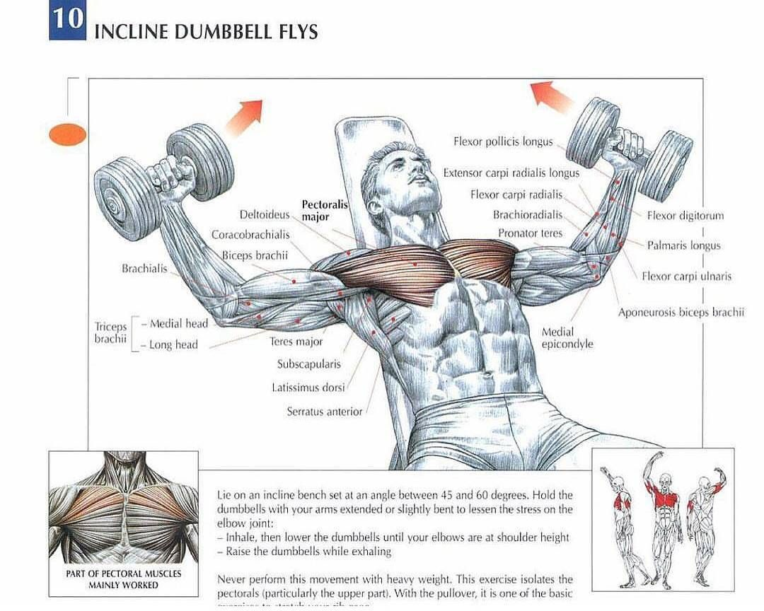Dumbbell Flies Strengthening Several Muscles At Once People Perform The Dumbbell Fly Exercise With The Bodybuilding Workouts Workout Posters Chest Workouts