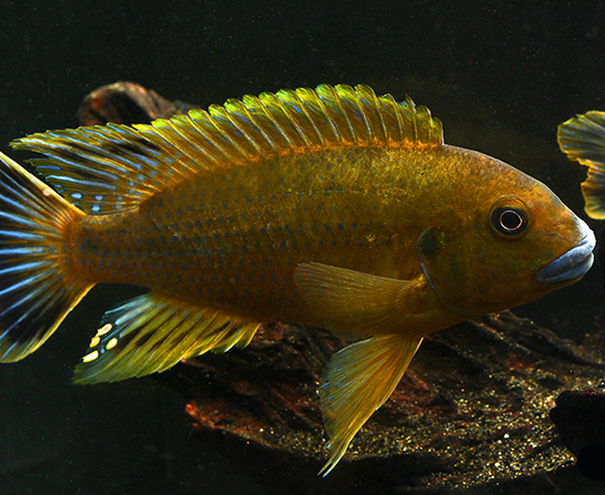 Williamsi Blue Lips (Pseudotropheus sp) | African cichlids