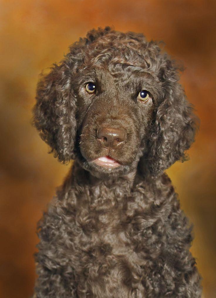 Irish Water Spaniel | Irish water spaniel, Spaniel puppies ...
