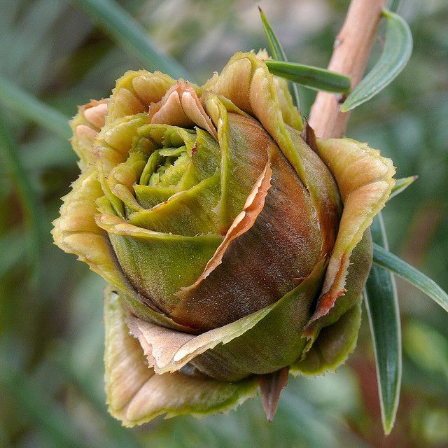 Keteleeria evelyniana (coniferous tree cone): Keteleeria evelyniana #7 by J.G. in S.F. on Flickr ©