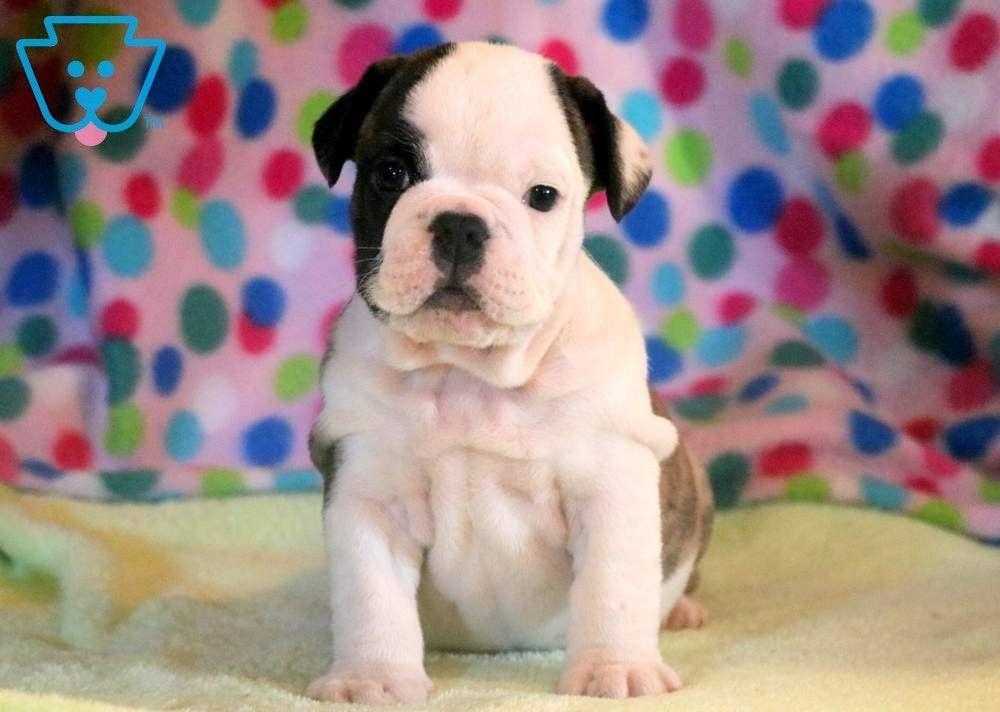 Chucky English Bulldog Puppy For Sale Keystone Puppies Englishbulldogpuppiesforsale English Bulldog Puppy Bulldog Puppies For Sale Puppies